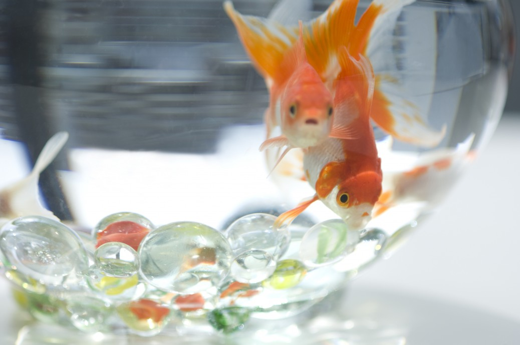 Goldfish in a fishbowl